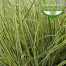 Carex brunnea 'Albolineata', Осока коричнувата 'Альболінеата',C2 - горщик 2л