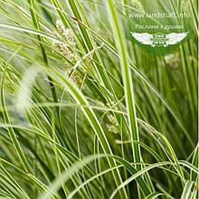 Carex brunnea 'Aureomarginata', Осока коричнувата 'Ауреомаргіната',C2 - горщик 2л