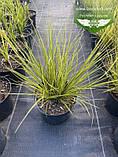 Carex brunnea 'Aureomarginata', Осока коричнувата 'Ауреомаргіната',C2 - горщик 2л, фото 2