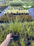 Carex brunnea 'Aureomarginata', Осока коричнувата 'Ауреомаргіната',C2 - горщик 2л, фото 3