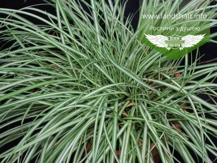 Carex brunnea 'Variegata', Осока коричнувата 'Варієгата',C2 - горщик 2л