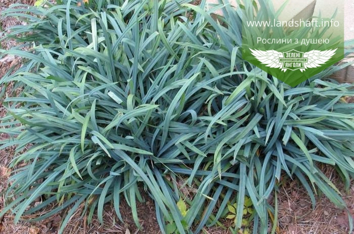 Carex laxiculmis 'Bunny Blue', Осока розлогостеблова 'Бані Блу',C2 - горщик 2л