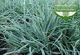 Carex laxiculmis 'Bunny Blue', Осока розлогостеблова 'Бані Блу',C2 - горщик 2л, фото 2