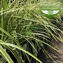 Carex morrowii 'Vanilla Ice', Осока японська 'Ваніла Айс',C2 - горщик 2л
