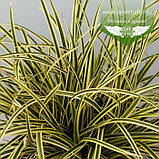 Carex morrowii 'Vanilla Ice', Осока японська 'Ваніла Айс',C2 - горщик 2л, фото 2