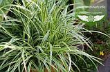 Carex morrowii 'Vanilla Ice', Осока японська 'Ваніла Айс',C2 - горщик 2л, фото 3