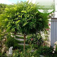 Robinia pseudoacacia 'Umbraculifera', Робінія псевдоакація 'Умбракуліфера',C30-C35 - горщик