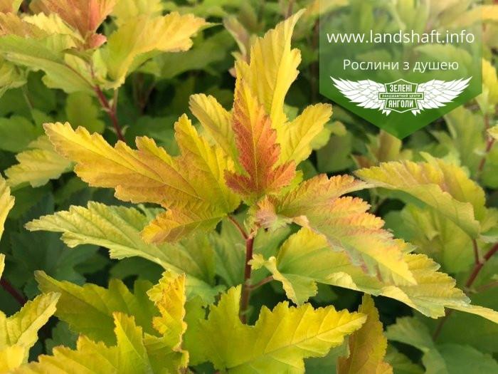 Physocarpus opulifolius 'Angel Gold/Minange', Пухироплідник калинолистий 'Ейнджел Голд',C2 - горщик 2л