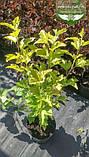 Physocarpus opulifolius 'Gold Angel/Minange', Пухироплідник калинолистий 'Ейнджел Голд',C2 - горщик 2л, фото 3
