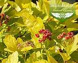 Physocarpus opulifolius 'Gold Angel/Minange', Пухироплідник калинолистий 'Ейнджел Голд',C2 - горщик 2л, фото 4