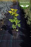 Physocarpus opulifolius 'Gold Angel/Minange', Пухироплідник калинолистий 'Ейнджел Голд',C2 - горщик 2л, фото 6