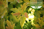 Physocarpus opulifolius 'Angel Gold/Minange', Пухироплідник калинолистий 'Ейнджел Голд',C2 - горщик 2л, фото 7