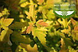 Physocarpus opulifolius 'Angel Gold/Minange', Пухироплідник калинолистий 'Ейнджел Голд',C2 - горщик 2л, фото 8