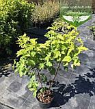 Physocarpus opulifolius 'Angel Gold/Minange', Пухироплідник калинолистий 'Ейнджел Голд',C2 - горщик 2л, фото 10
