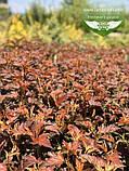 Physocarpus opulifolius 'Schuch', Пухироплідник калинолистий 'Шух',C2 - горщик 2л, фото 2
