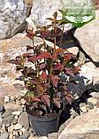 Physocarpus opulifolius 'Schuch', Пухироплідник калинолистий 'Шух',C2 - горщик 2л, фото 3