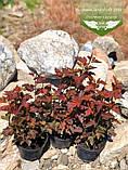 Physocarpus opulifolius 'Schuch', Пухироплідник калинолистий 'Шух',C2 - горщик 2л, фото 4