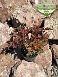 Physocarpus opulifolius 'Schuch', Пухироплідник калинолистий 'Шух',C2 - горщик 2л, фото 5