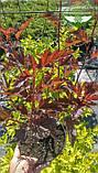 Physocarpus opulifolius 'Summer Wine', Пухироплідник калинолистий 'Самер Вайн',P7-Р9 - горщик 9х9х9, фото 3