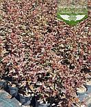 Physocarpus opulifolius 'Summer Wine', Пухироплідник калинолистий 'Самер Вайн',P7-Р9 - горщик 9х9х9, фото 4