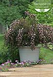 Physocarpus opulifolius 'Summer Wine', Пухироплідник калинолистий 'Самер Вайн',P7-Р9 - горщик 9х9х9, фото 5