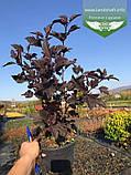 Physocarpus opulifolius 'Summer Wine', Пухироплідник калинолистий 'Самер Вайн',P7-Р9 - горщик 9х9х9, фото 7