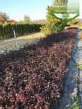 Physocarpus opulifolius 'Summer Wine', Пухироплідник калинолистий 'Самер Вайн',P7-Р9 - горщик 9х9х9, фото 8