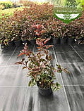 Physocarpus opulifolius 'Summer Wine', Пухироплідник калинолистий 'Самер Вайн',P7-Р9 - горщик 9х9х9, фото 9