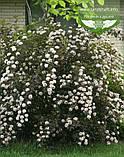 Physocarpus opulifolius 'Summer Wine', Пухироплідник калинолистий 'Самер Вайн',C2 - горщик 2л, фото 2