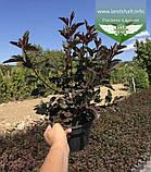 Physocarpus opulifolius 'Summer Wine', Пухироплідник калинолистий 'Самер Вайн',C2 - горщик 2л, фото 6