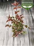 Physocarpus opulifolius 'Summer Wine', Пухироплідник калинолистий 'Самер Вайн',C2 - горщик 2л, фото 10