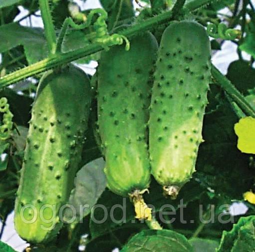Семена огурца Соната Rijk Zwaan Голландия 10 грамм(~400 шт)