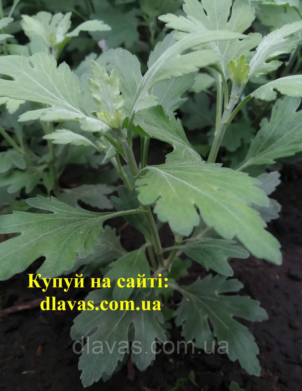 Хризантема корейська бранбич коррал