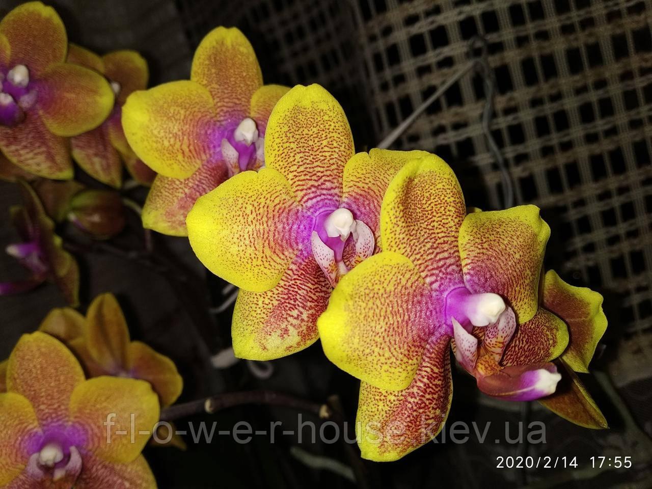 Орхидея Phal. Sogo Lawrence