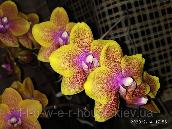 Орхидея Phal. Sogo Lawrence, фото 2
