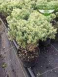 Hebe pinguifolia, Хебе товстолиста,C2 - горщик 2л, фото 2