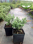 Hebe pinguifolia, Хебе товстолиста,C2 - горщик 2л, фото 3