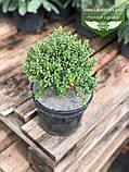Hebe pinguifolia, Хебе товстолиста,C2 - горщик 2л, фото 5