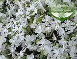 Phlox subulata 'Calvides White', Флокс шиловидний 'Калвідес Вайт',P7-Р9 - горщик 9х9х9, фото 3