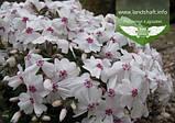 Phlox subulata 'Calvides White', Флокс шиловидний 'Калвідес Вайт',P7-Р9 - горщик 9х9х9, фото 4