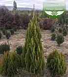 Thuja orientalis 'Pyramidalis Karcsu', Туя східна 'Пірамідаліс Карчу',P7-Р9 - горщик 9х9х9,5-10см, фото 9