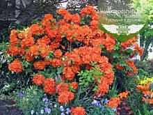 Azalea japonica 'Drapa Orange', Азалія японська 'Драпу Оранж',C2 - горщик 2л