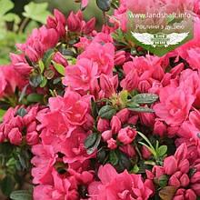 Azalea japonica 'Drapa Pink', Азалія японська 'Драпу Пінк',C2 - горщик 2л