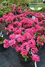 Azalea japonica 'Rubinetta', Азалія японська 'Рубінетта',C2 - горщик 2л