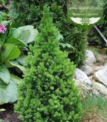 Picea glauca 'Conica', Ялина канадська 'Коніка',C2 - горщик 2л