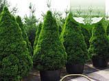 Picea glauca 'Conica', Ялина канадська 'Коніка',C2 - горщик 2л, фото 2