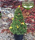 Picea glauca 'Conica', Ялина канадська 'Коніка',C2 - горщик 2л, фото 3