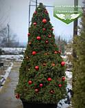 Picea glauca 'Conica', Ялина канадська 'Коніка',C2 - горщик 2л, фото 4