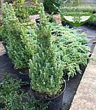 Picea glauca 'Conica', Ялина канадська 'Коніка',C2 - горщик 2л, фото 5
