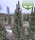 Picea glauca 'Conica', Ялина канадська 'Коніка',C2 - горщик 2л, фото 6